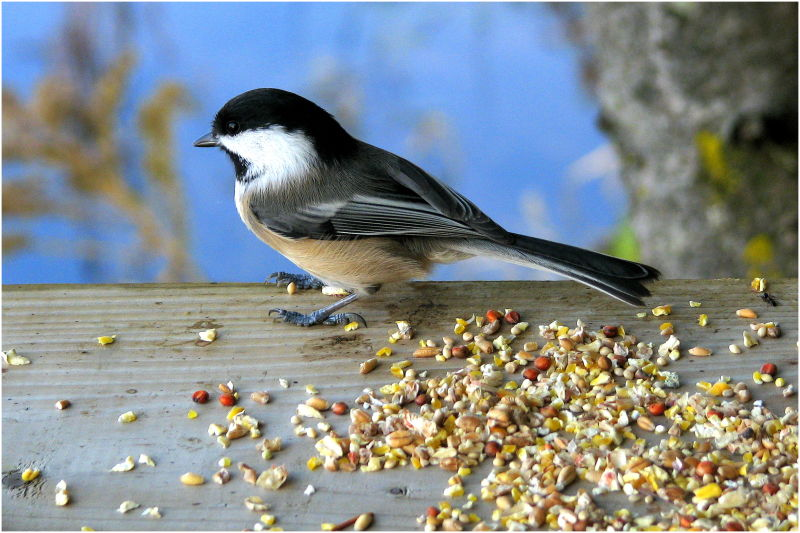 Chickadee at feeding station.