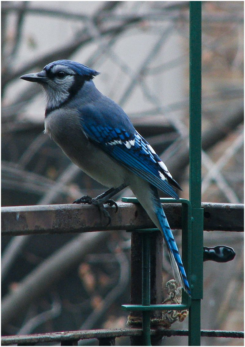 Blue jay sitting on railing.