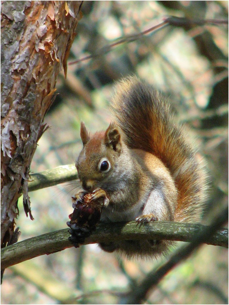 Red squirrel sitting in tree eating pine cone.