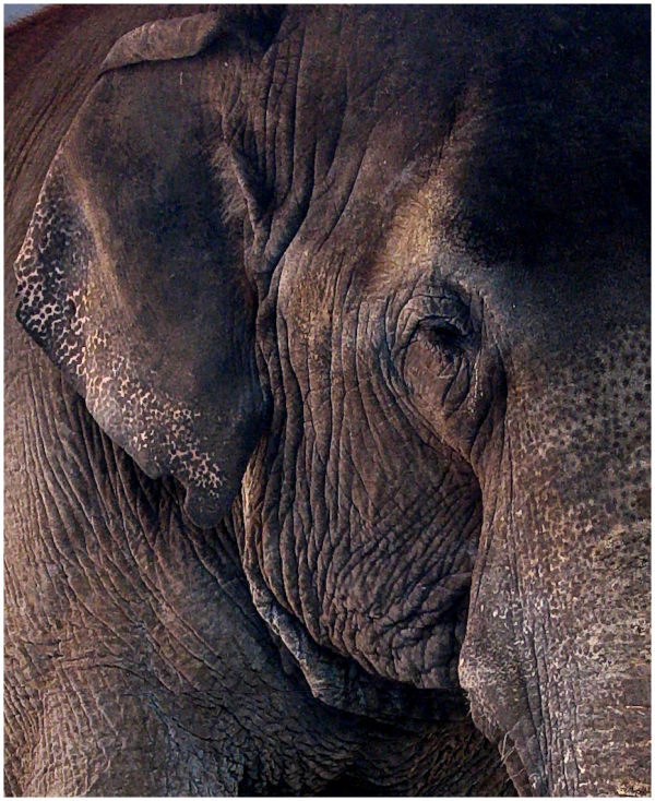 An elephant rests her eyes.