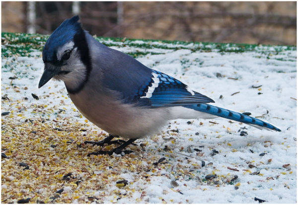 Blue Jay feating on some seed.