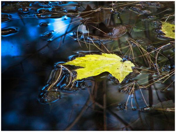 Maple leaf floats in water.