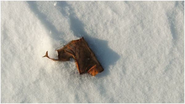 A leaf in a drift of snow.