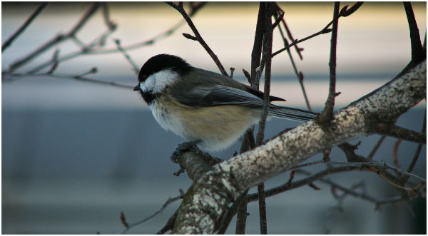 Chickadee at resting in tree.