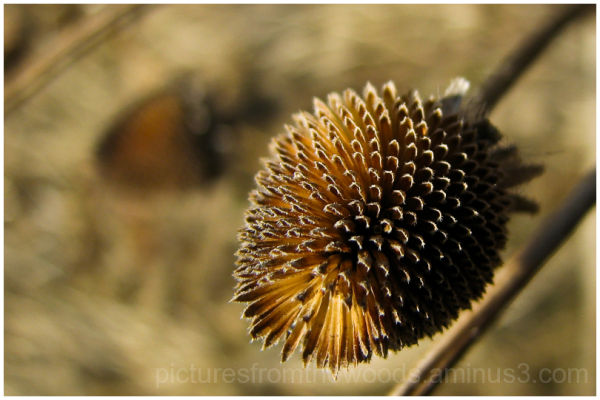 A seed pod from a black eyed Suzy.