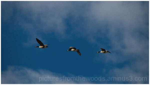 Canada Geese flying across blu sky and cloud.