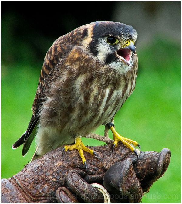 American Kestrel resting on handler's glove.