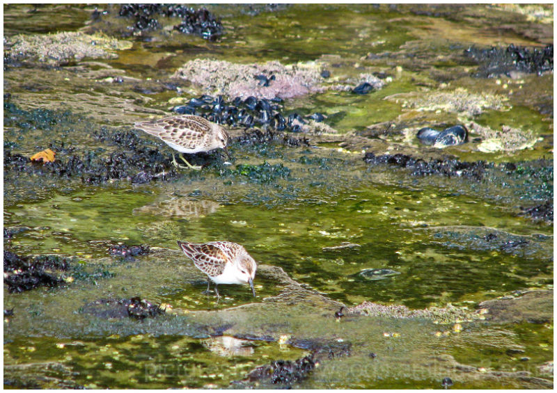 Shorebirds looking for feed amongst the clams.