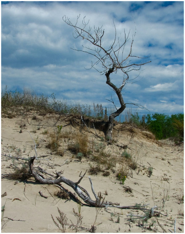 A twisted dead tree deep in the dunes at Sandbanks