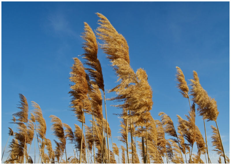 Golden marsh grass against blue sky