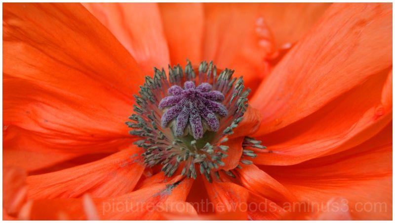 Poppy plant in bloom