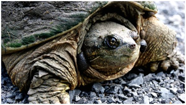 Snapping Turtle pays a visit