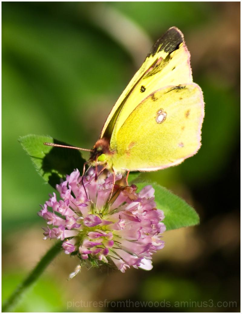 Sulfur moth on clover flower/