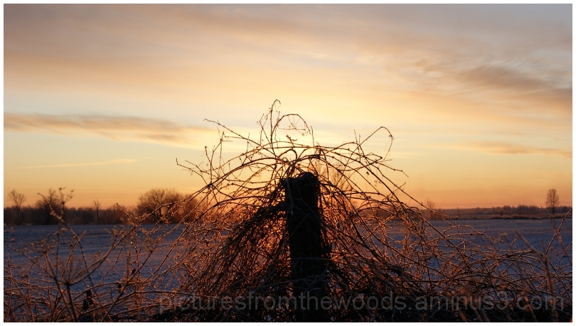 Winter sunrise behind vine covered post