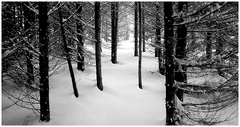 Fresh snow in the woods.