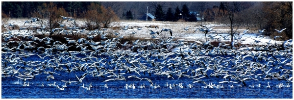 Snow geese in flight on St. Lawrence River