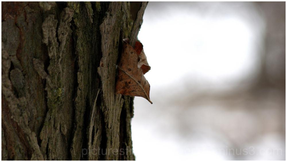 Leaf caught in bark of shagbark hickory.