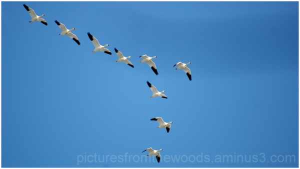 Snow geese in flyover formation