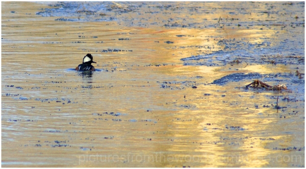 Hooded Merganser on the creek.
