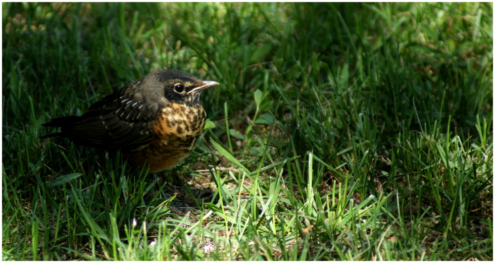 Young robin resting in grass.