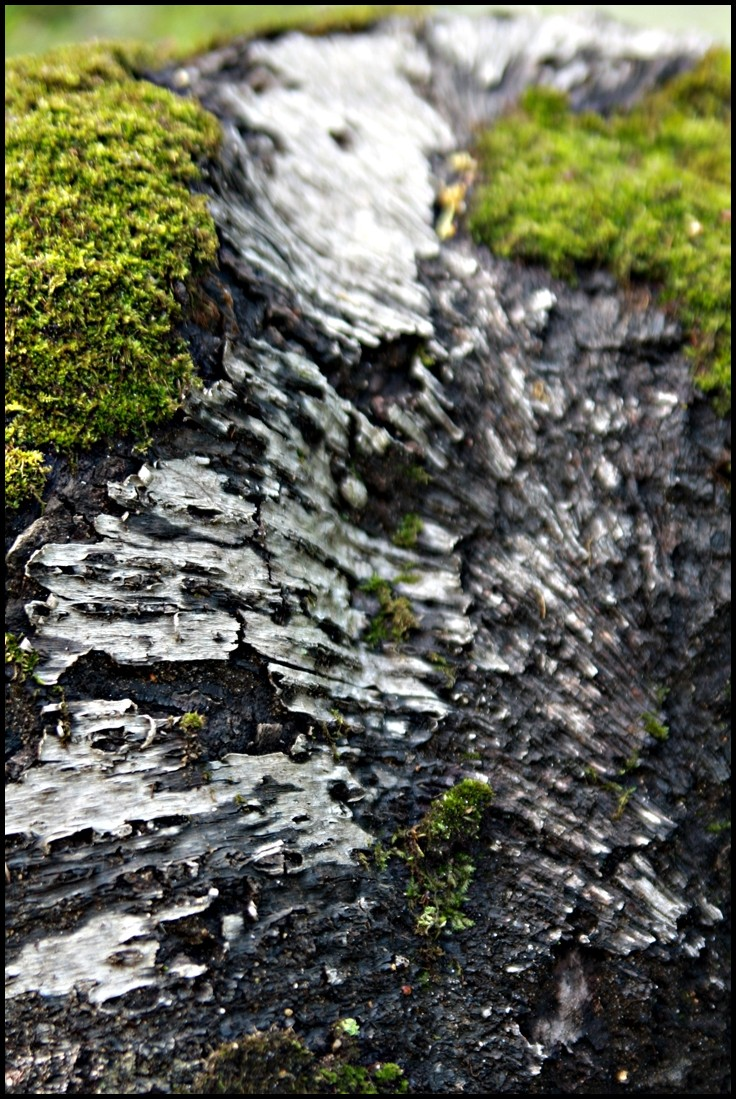Bark Moss