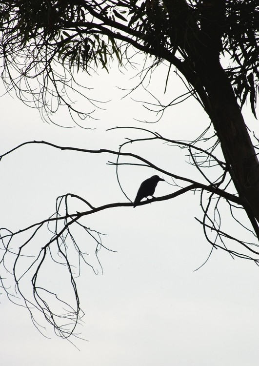 Crow in the mist