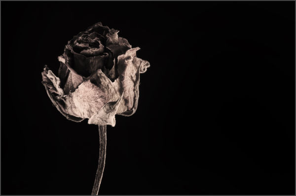 A Rose Is Forever