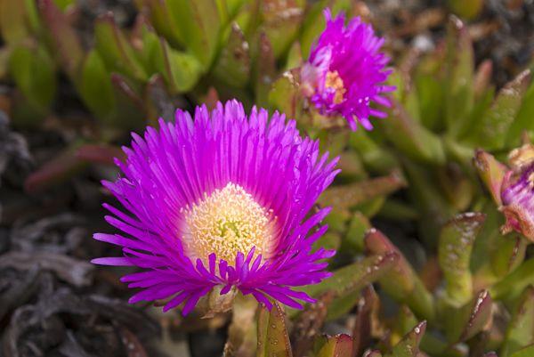 Carpobrotus lila