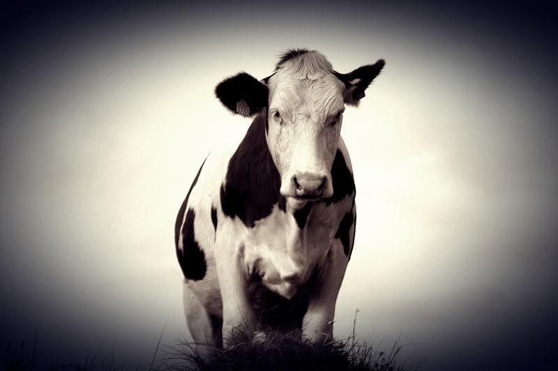 La vaca que no rie