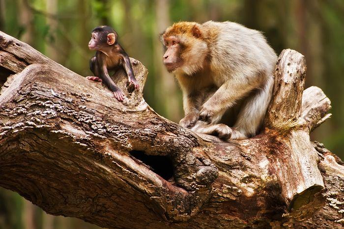 monkey, trentham, macaque