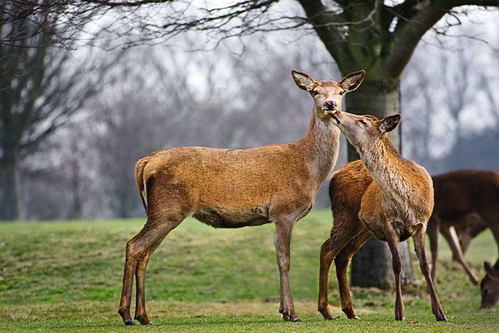 red deer, kiss