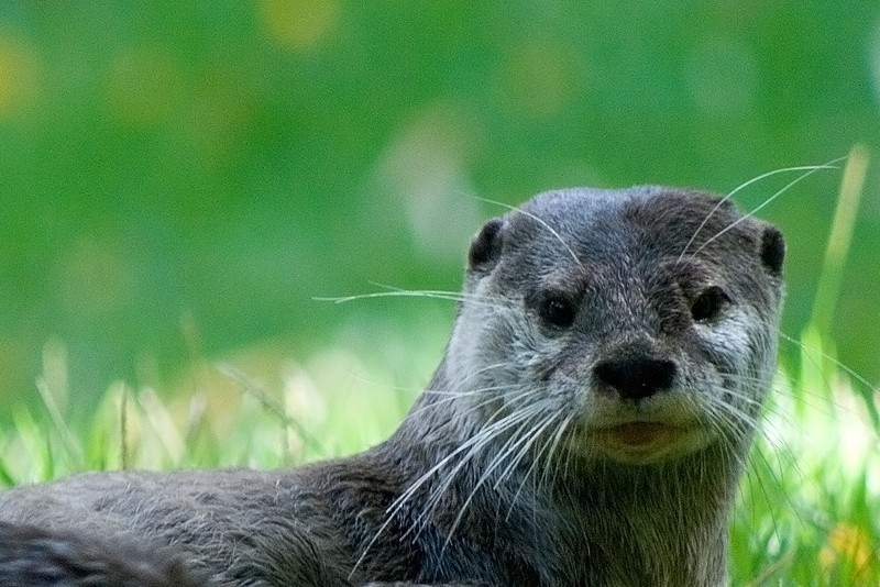 Water Otter