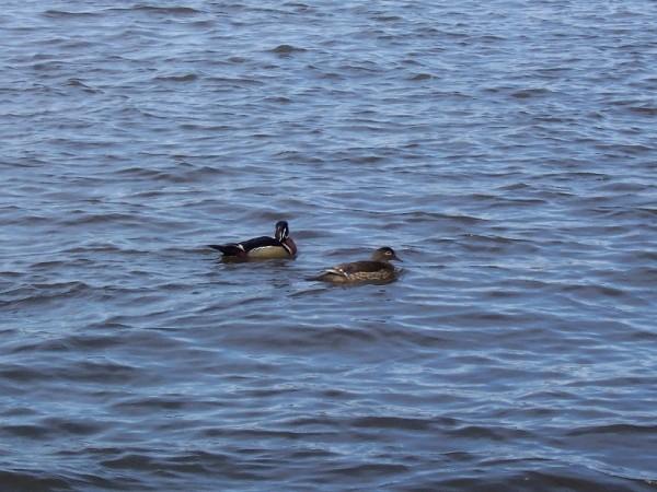 Ducks in the Rivière des Prairies