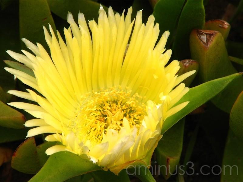 yellow iceplant flower