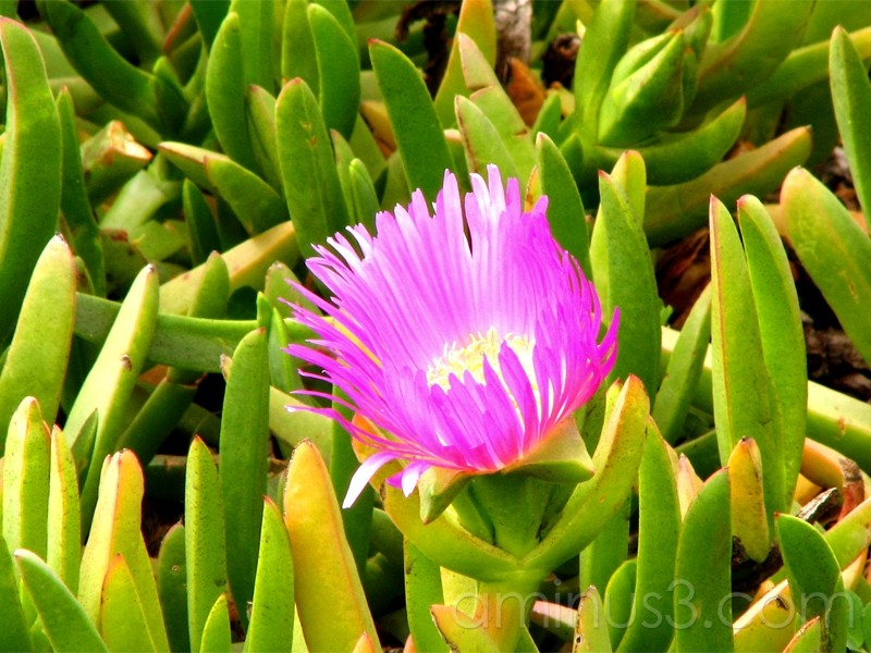pink iceplant flower