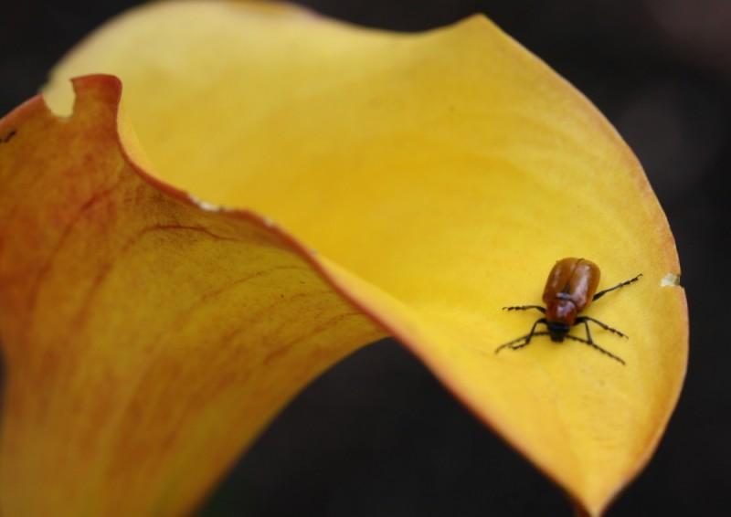 Spanish Beetle