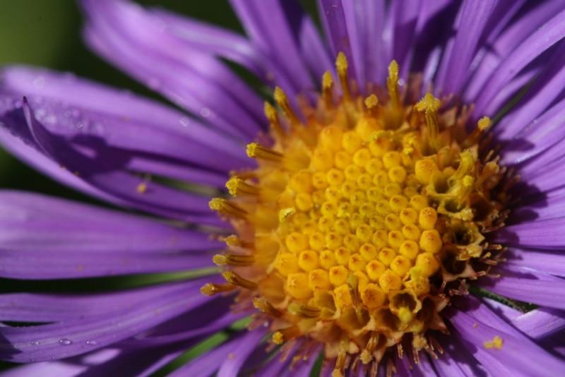 Purple Aster