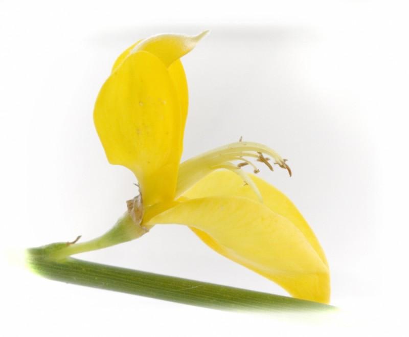 flor de ginesta