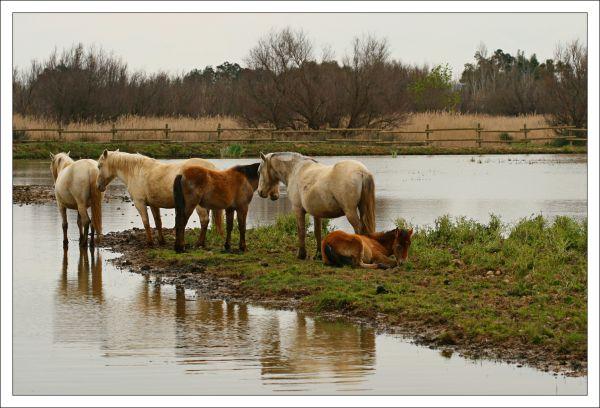 desdibuix Bohigas horse cavall aiguamoll emporda
