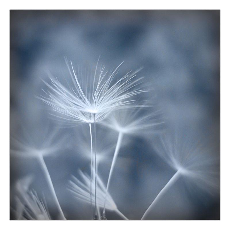 dandelion pixallits