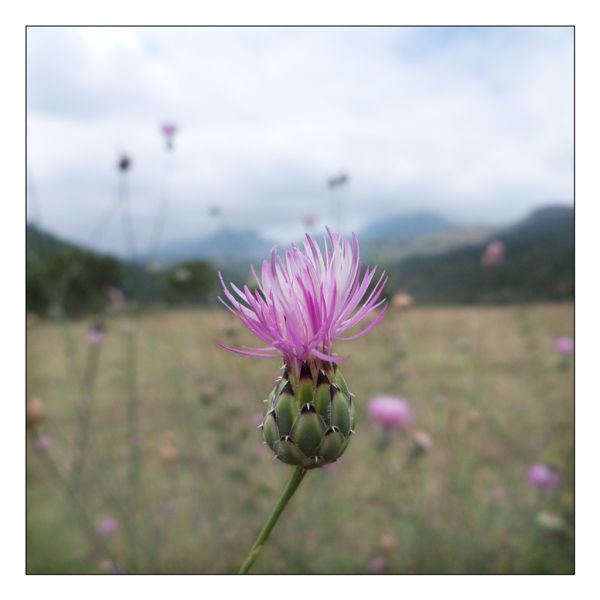 pedret flower