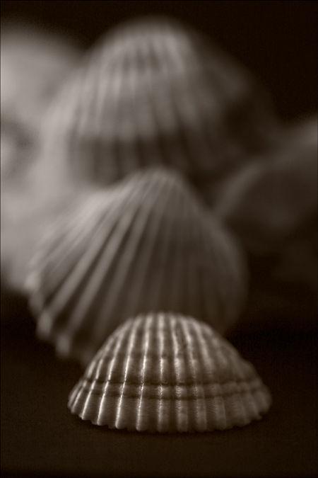 shell curculla