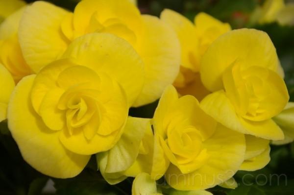 Florcilla amarilla
