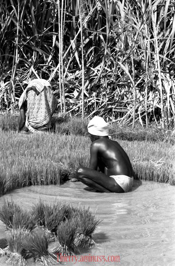 repiquage des pousses de riz