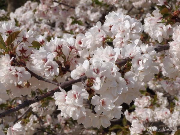 Les fleurs de cerisiers tombées