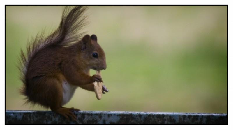 Squirrel eating cracker