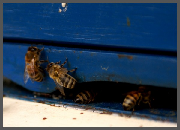 Bees are busy, first signs of spring