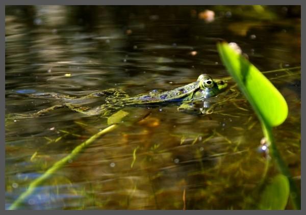 Frog underway