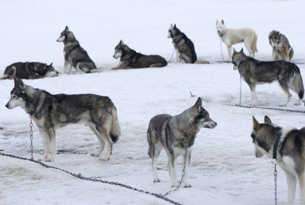 Huskies (2).