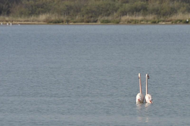 Flamingos parade.